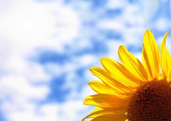 Sonnenblume vom Versicherungsmakler Vivere